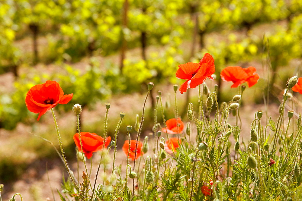 Saint-Emilion, in the Dordogne River Valley, Gironde region, Acquitaine, France, Flanders Poppies Papever rhoeas beside a field of grape vines, other common names: red field poppy, corn poppy, corn rose, red weed, coquelicot, also headache and headwark because the odor is said to cause a headache, May