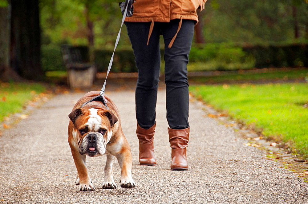 English bulldog walking out on a leash in a park, front view, ground level, autumn scene