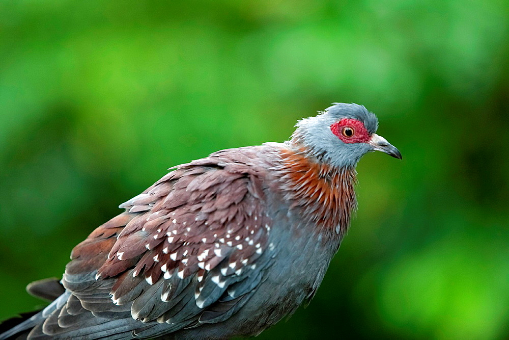 African Speckled Pigeon, Columba guinea, Moody Gardens Rain Forest, Galveston, Texas