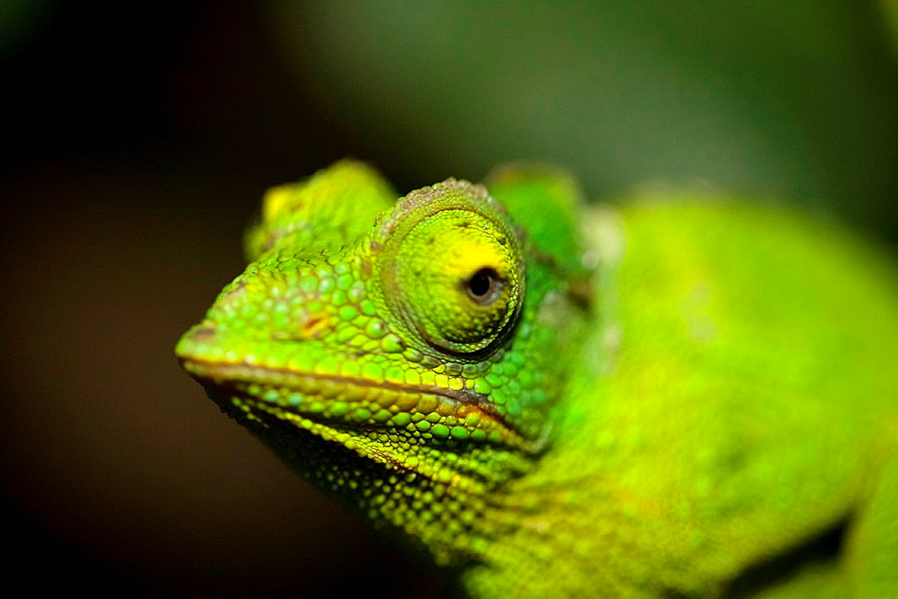 Close up view of a Jewel chameleon, Chamaeleo lateralis, Moody Gardens Rain Forest, Galveston, Texas