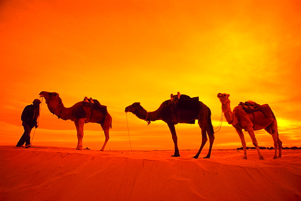 Camels in Douz Sahara Southern Tunisia.