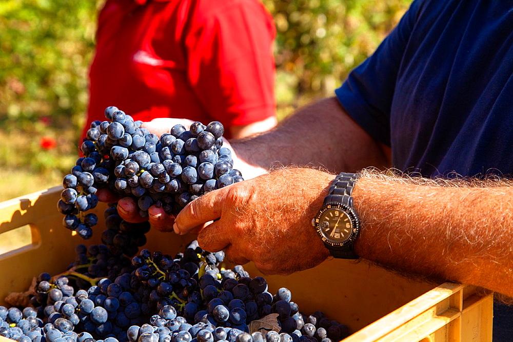 Harvest season in Briones, La Rioja, Spain