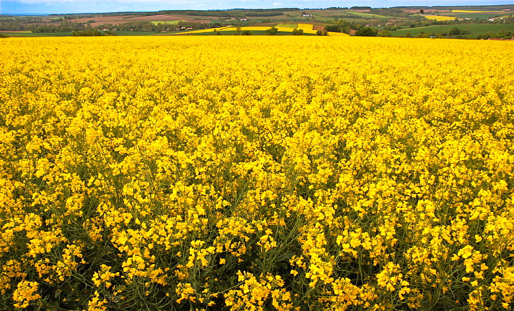 France-Poitou Charente- Charente- Rape field in the landscape near Angouleme.