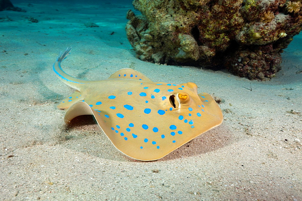 Bluespotted Ribbontail Ray, Taeniura lymma, Marsa Alam, Red Sea, Egypt