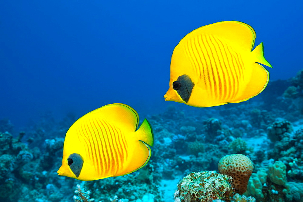 Pair of Masked Butterflyfish, Chaetodon semilarvatus, St Johns, Red Sea, Egypt