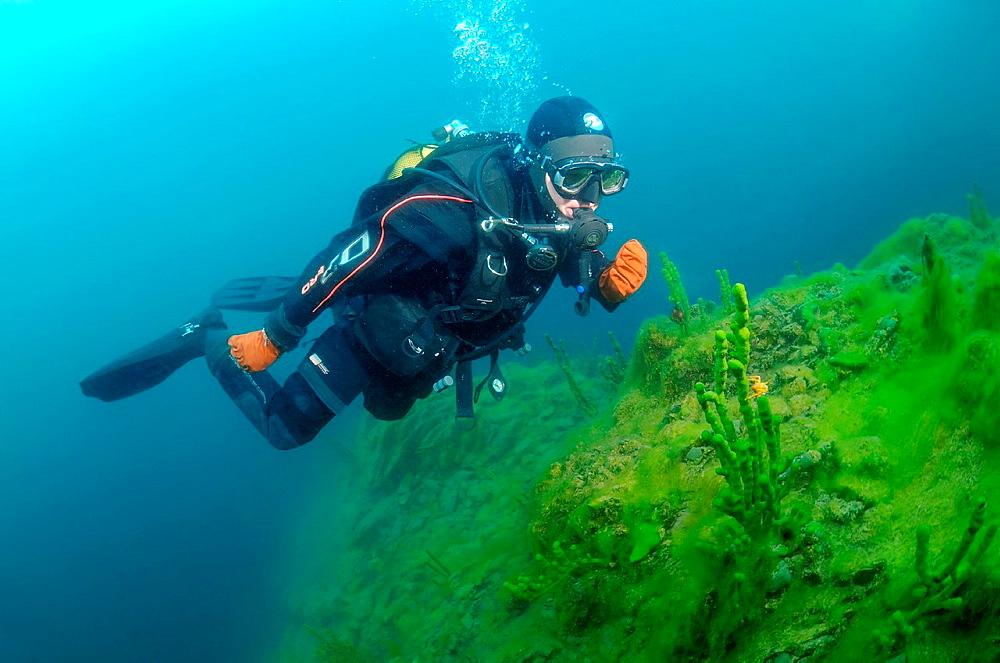 Diver & Demosponge Lubomirskia baicalensis, Lake Baikal, Siberia, the Russian Federation, Eurasia