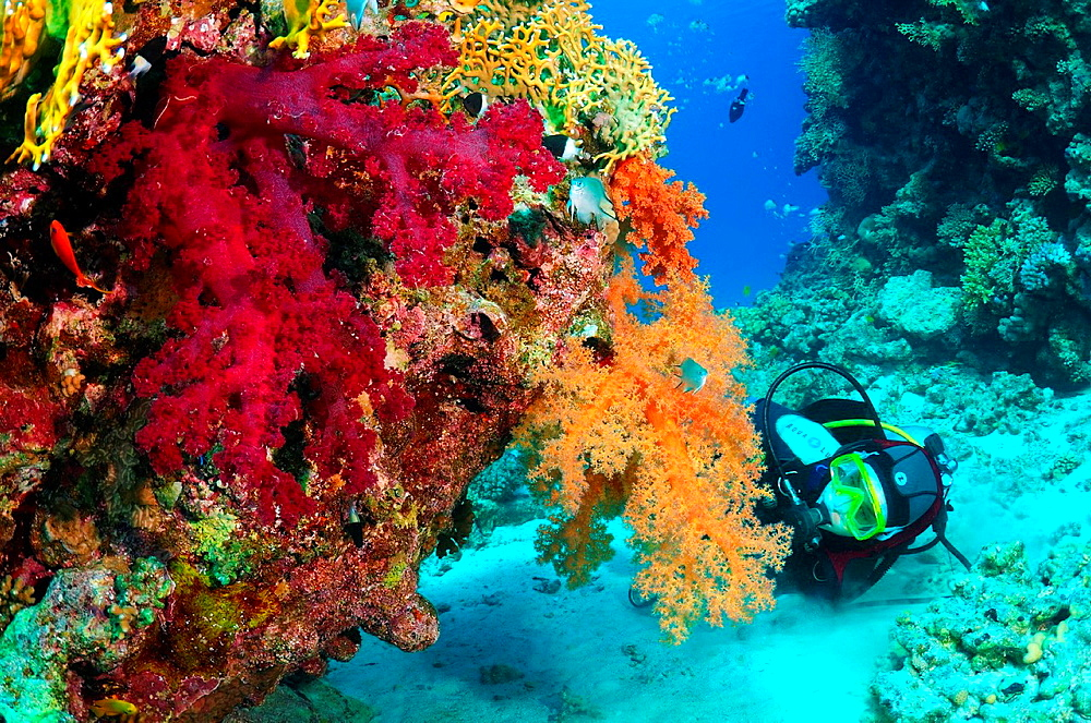 Red soft coral, Labuan Layang Layang, Red Sea, Egypt, Africa