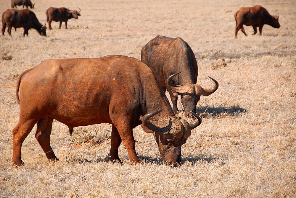 group of buffaloes in Tsavo National Park, Kenia