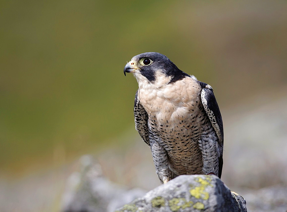 Peregrine falcon perched on rock