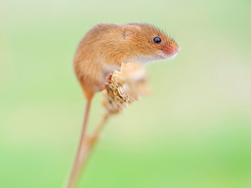 Harvest mouse on corn of wheat