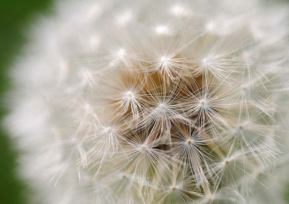Abstract of dandelion seed head