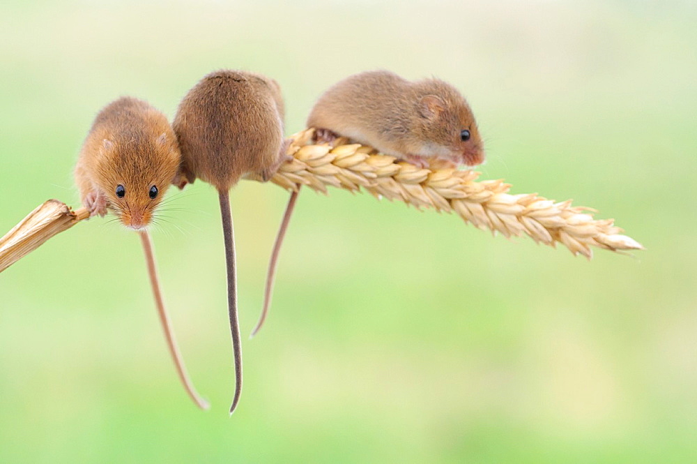 Trio of harvest mice on corn of wheat