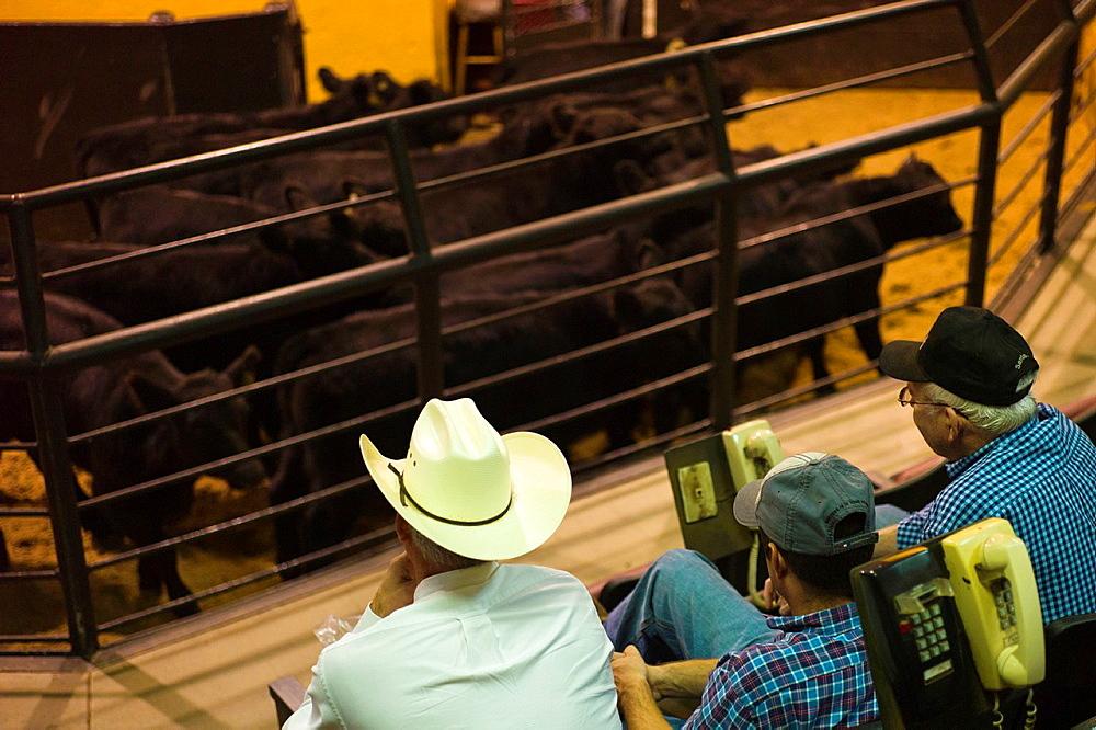 USA, Oklahoma, Oklahoma City, Oklahoma National Stockyards, cattle auction