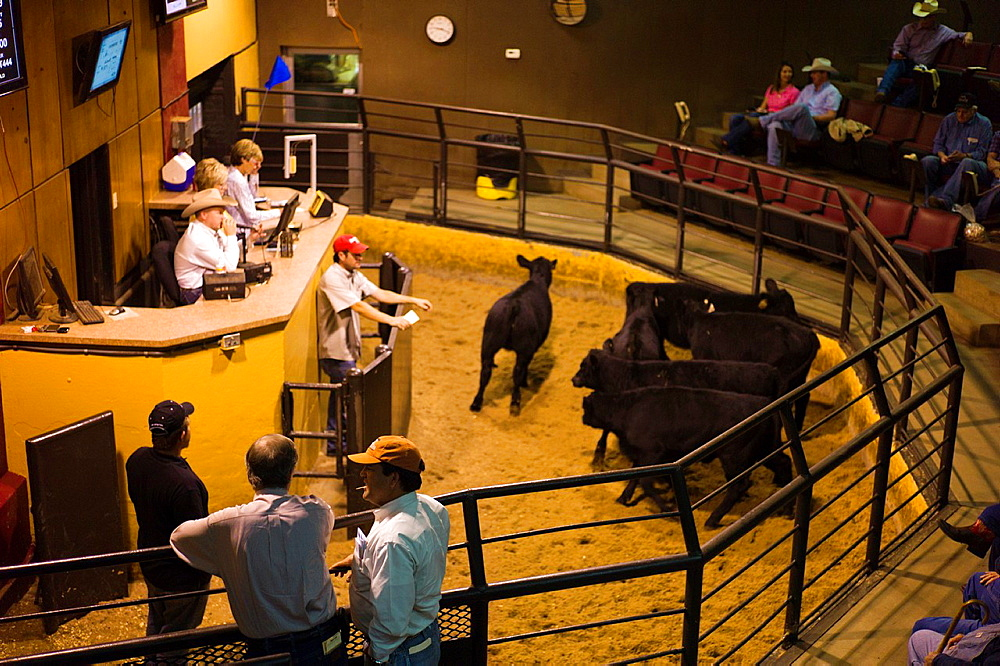 USA, Oklahoma, Oklahoma City, Oklahoma National Stockyards, cattle auction