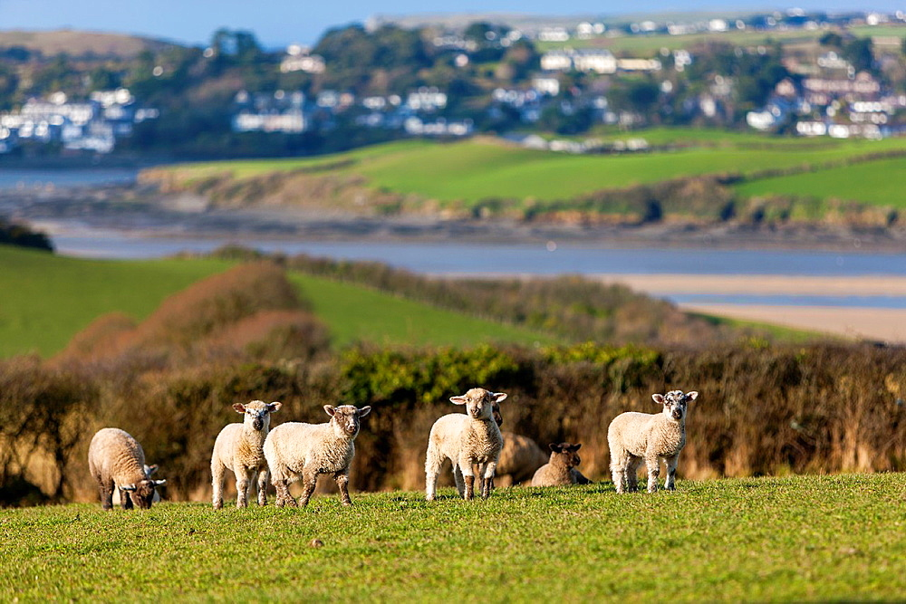 Young Lamb On Grass with port of Rock in the background, Cornwall, England, UK, Europe