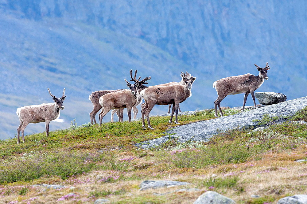 Herd of reindeer in mountain area of swedish lapland on the track of kungsleden