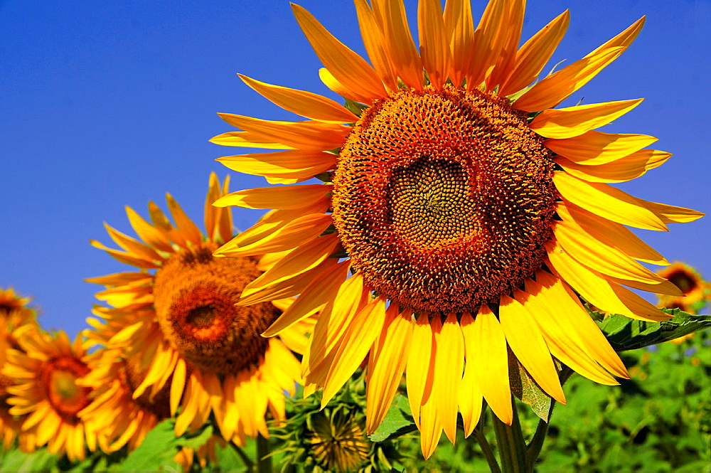 Turkey. sunflowers at the Gallipolli area. - 817-431208