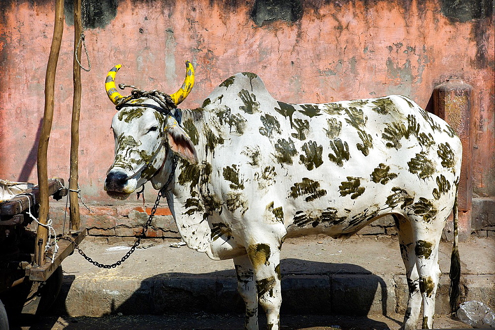 Vaca sagrada pintada con manos atada en la calle en New Delhi, India, Asia, Holy cow painted with hands tied on the street in New Delhi, India, Asia
