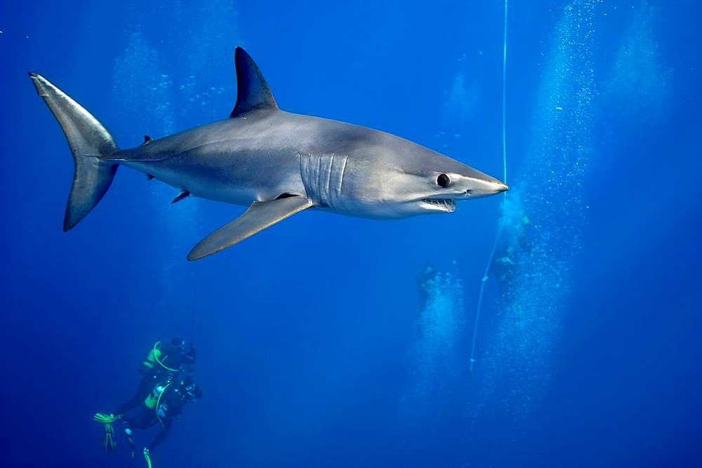 Divers swimming with shark