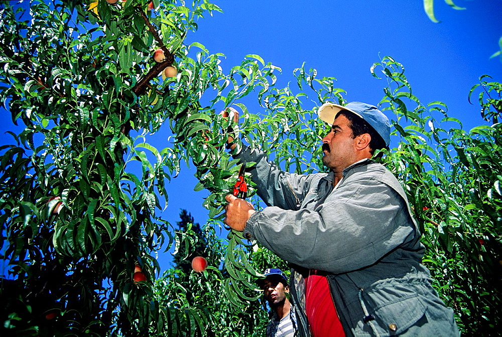 peach picking, Drome department, region of Rhone-Alpes, France, Europe