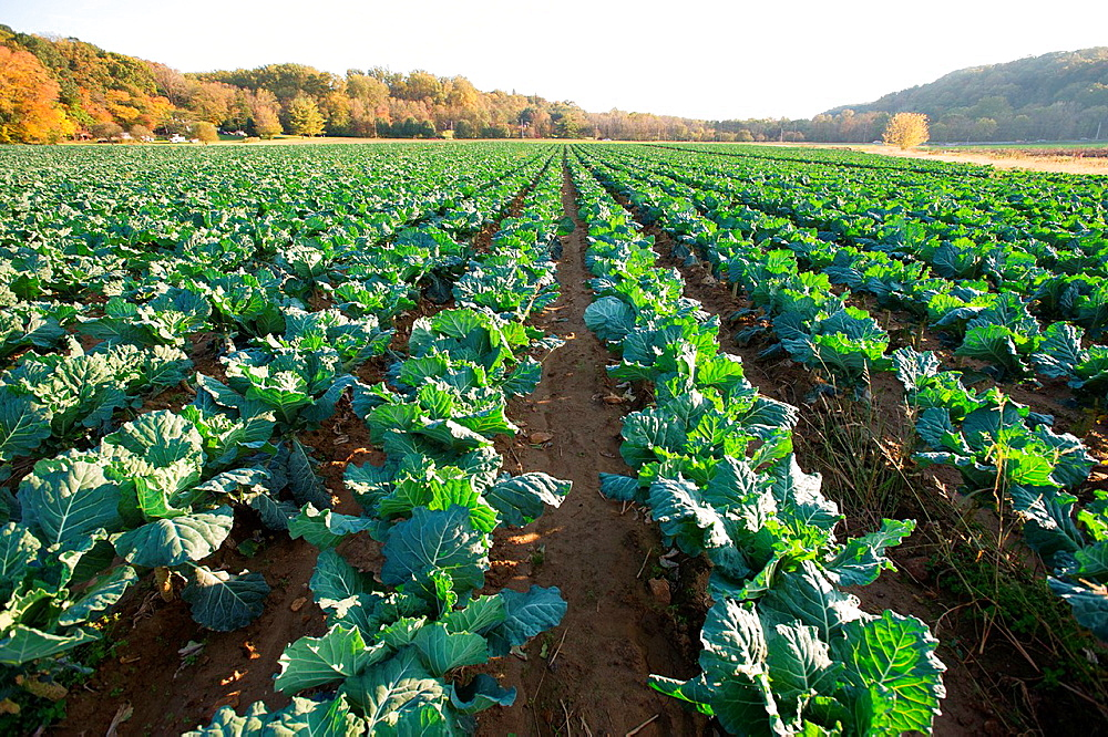 Leafy green vegetables kale in rows on a farm, Glen Arm Maryland USA