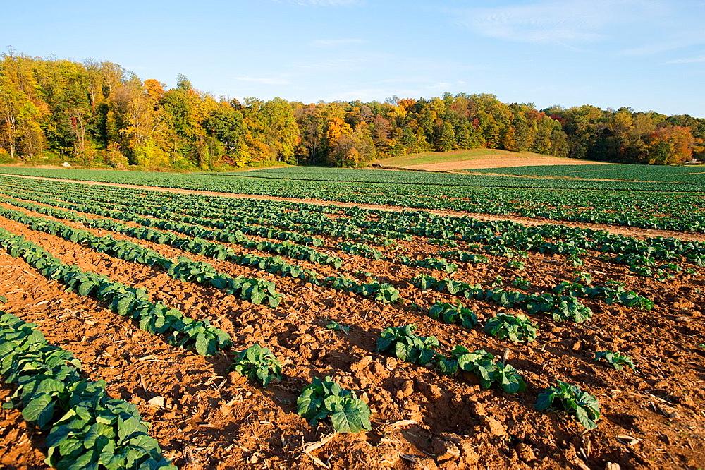 Leafy green vegetables in rows on a farm, Glen Arm Maryland USA