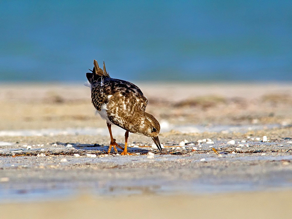 Ruddy Turnstone, Arenaria interpres, Crete