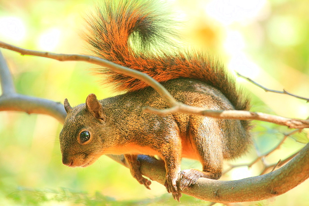 Squirrel, Venezuela