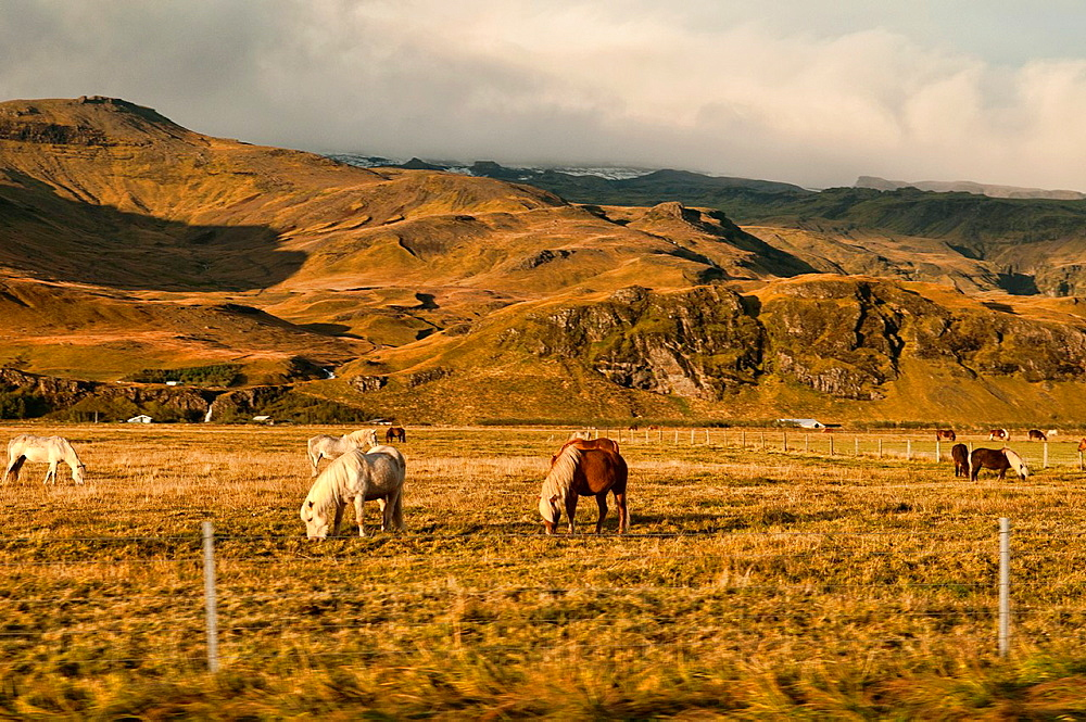 Icelandic horses in the late afternoon sun near Skogar, southern Iceland