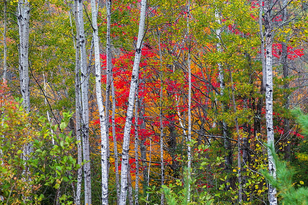 Close up of colorful trees and tree trunks in the Indian Summer, Vermont, USA