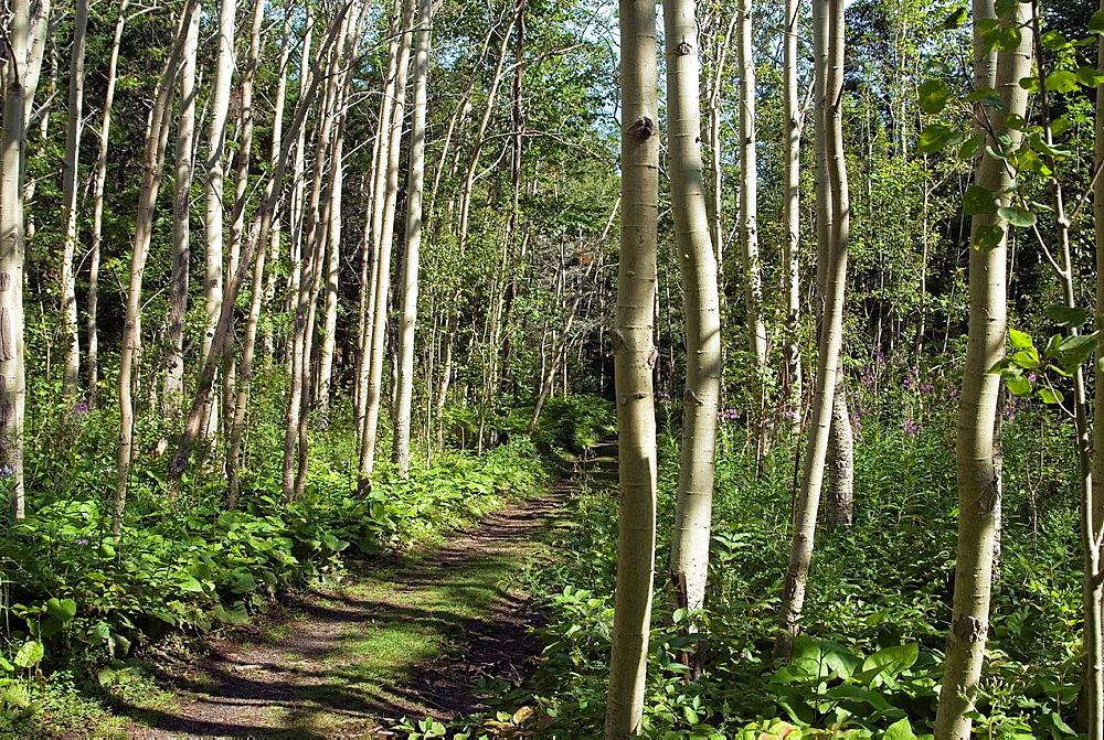 path in a Quaking aspen grove, Populus tremuloides, Ile aux Lievres, Saint-Laurent river, Quebec province, Canada, North America
