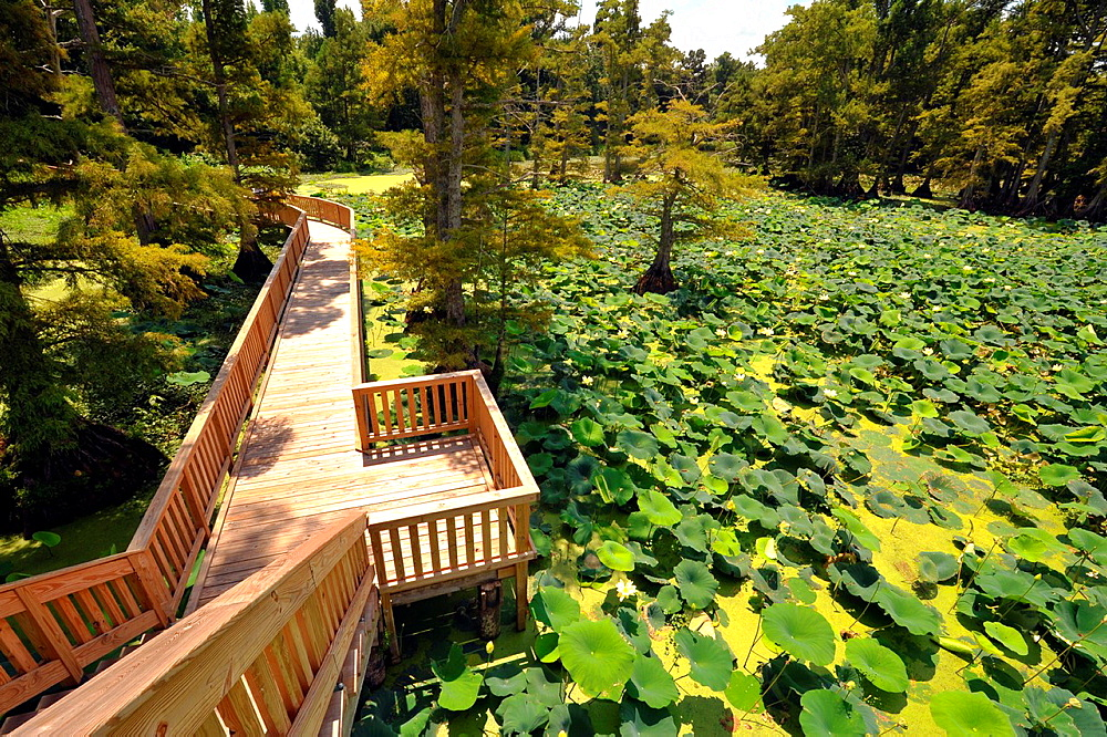 Boardwalk among lily pads in Reelfoot Lake State Park Tennessee.