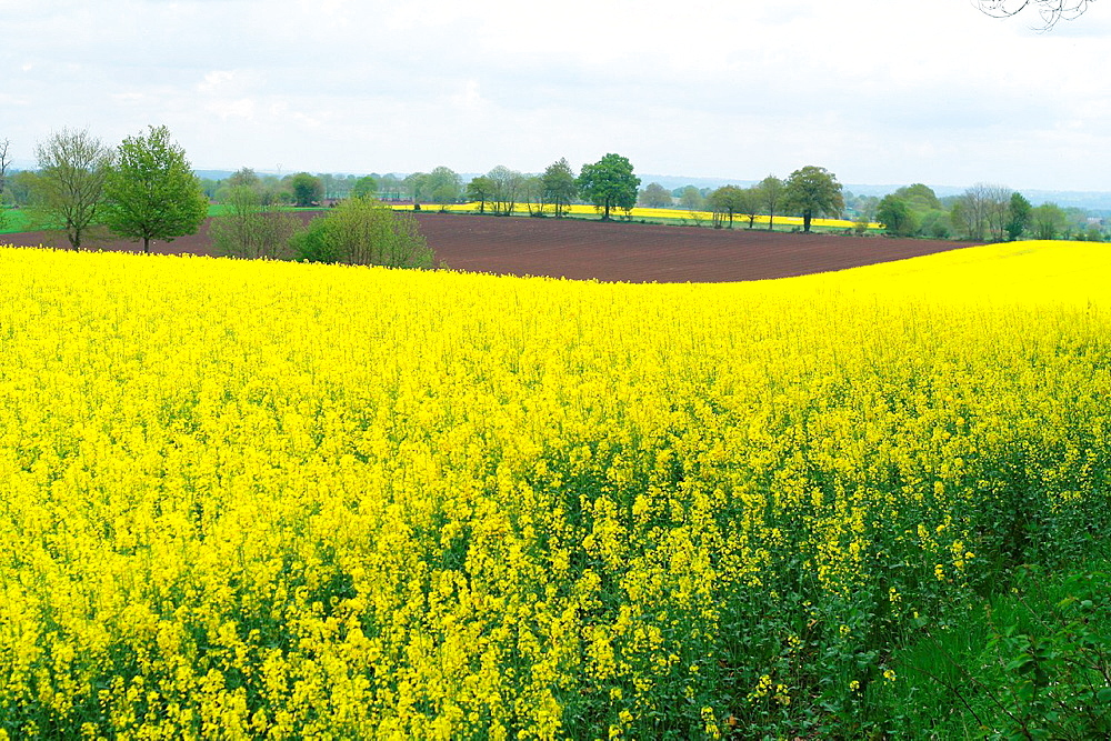 Rapeseed field, in may, countryside of the northern Mayenne Loire country, France.