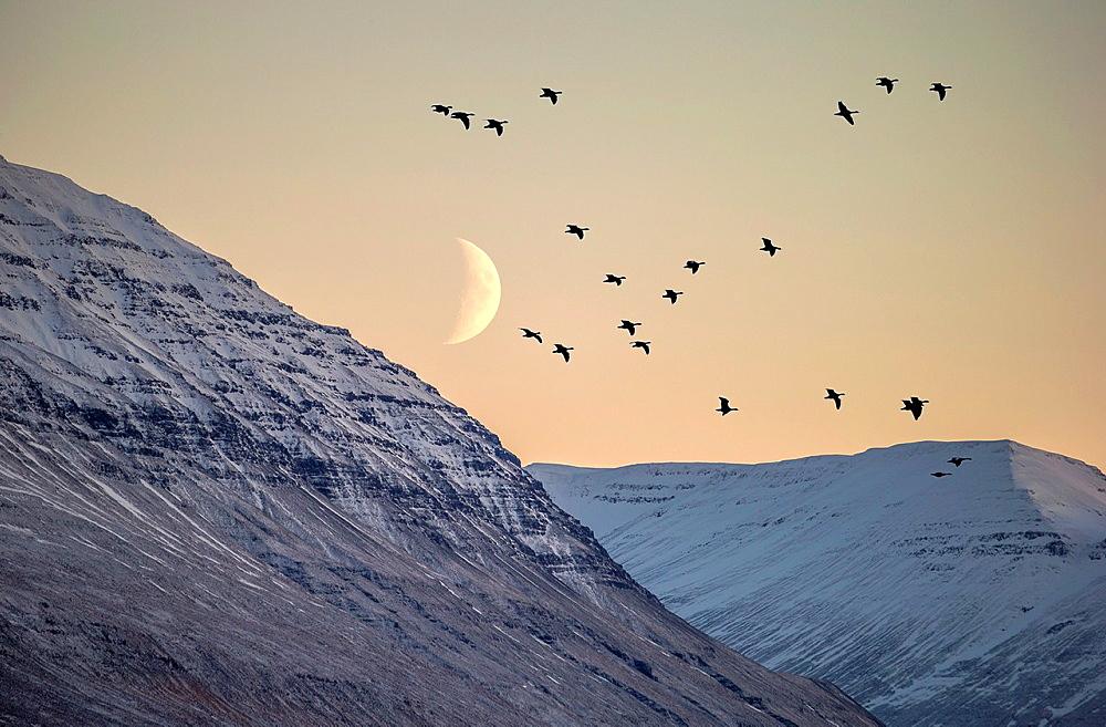 Birds flying with moonlight, Akureyri, Iceland