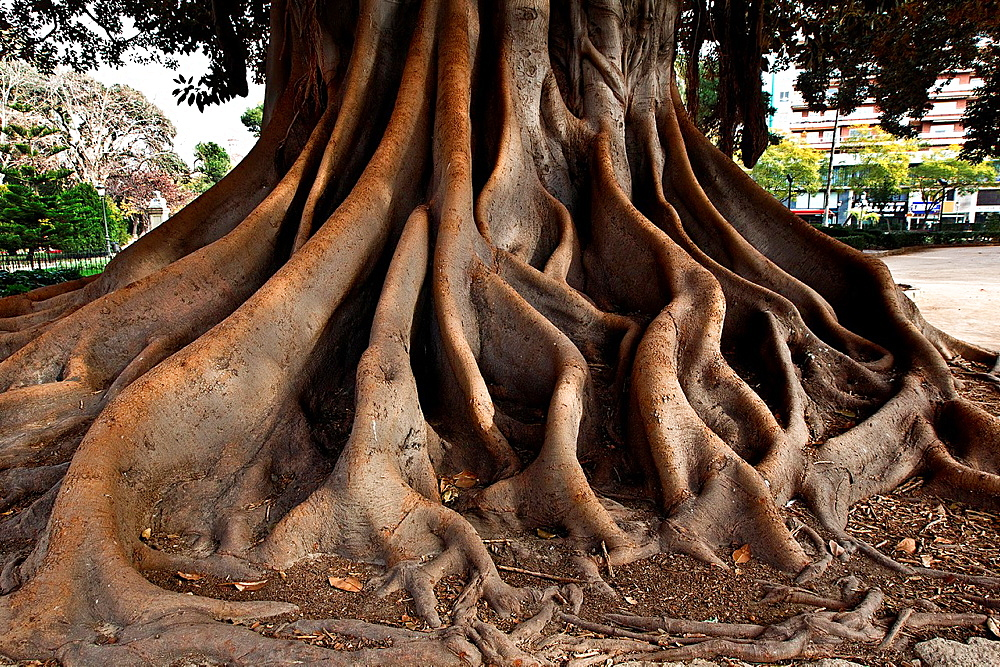 Roots of Ficus Ficus Macrophylla