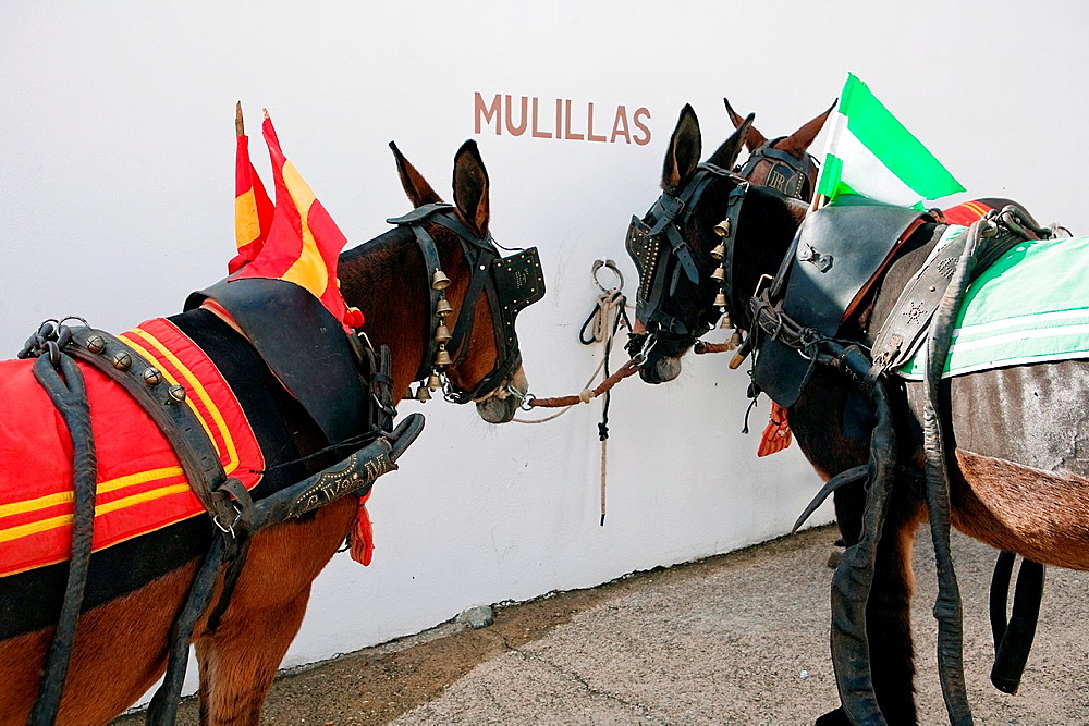 Dragging mules in the courtyard of horses of the bullring of Pozoblanco, province of Cordoba, Spain