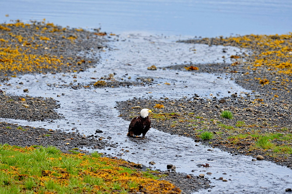Bald eagle (Haliaeetus leucocephalus) Adult loafing on beach at low tide, Queen Charlotte City, Haida Gwaii, British Columbia, Canada.