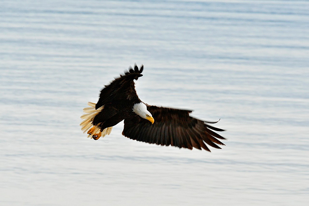 Bald eagle (Haliaeetus leucocephalus) Adult in flight, Haida Gwaii (Queen Charlotte Islands), British Columbia, Canada.