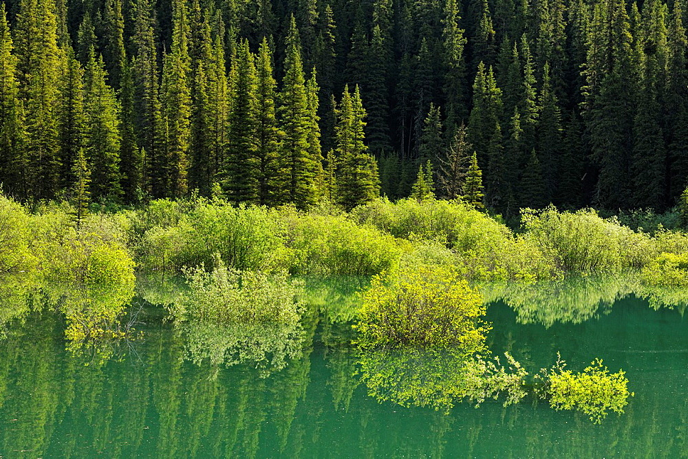Willows reflected in a pond flooded by meltwater near Medicine Lake, Banff National Park, Alberta, Canada.