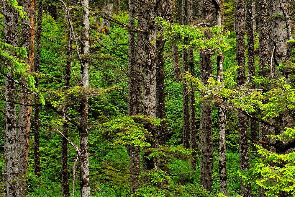 Sitka spruce forest, Haida Gwaii (Queen Charlotte Islands)- Graham Island, British Columbia, Canada.