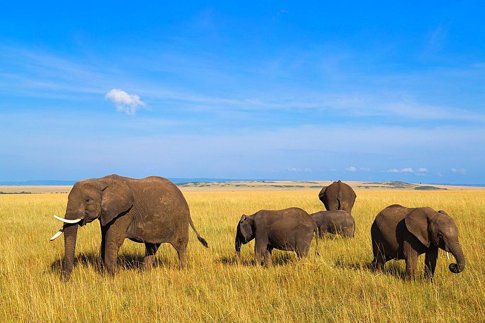 African elephants (Loxodonta africana) in savanna, Maasai Mara National Reserve, Kenya, Africa.