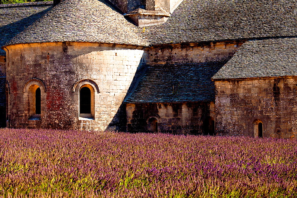 Blooming field of Lavender (Lavandula angustifolia) in front of Senanque Abbey, Gordes, Vaucluse, Provence-Alpes-Cote d'Azur, Southern France, France, Europe.