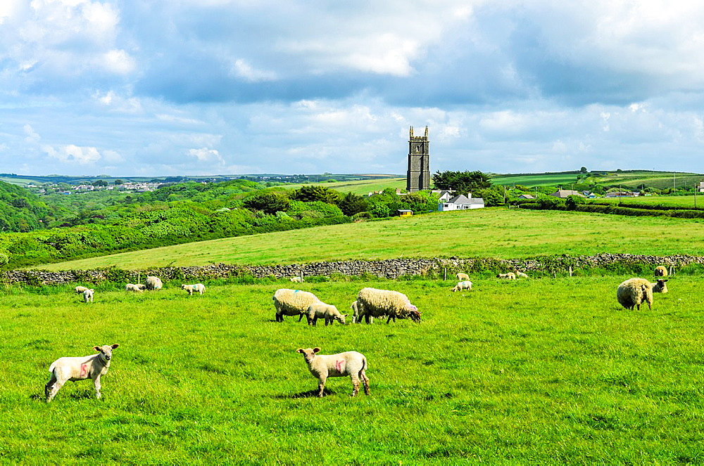 Sheep and lambs grazing on The Warren with the hamlet of Stoke in the distance, Devon, England.