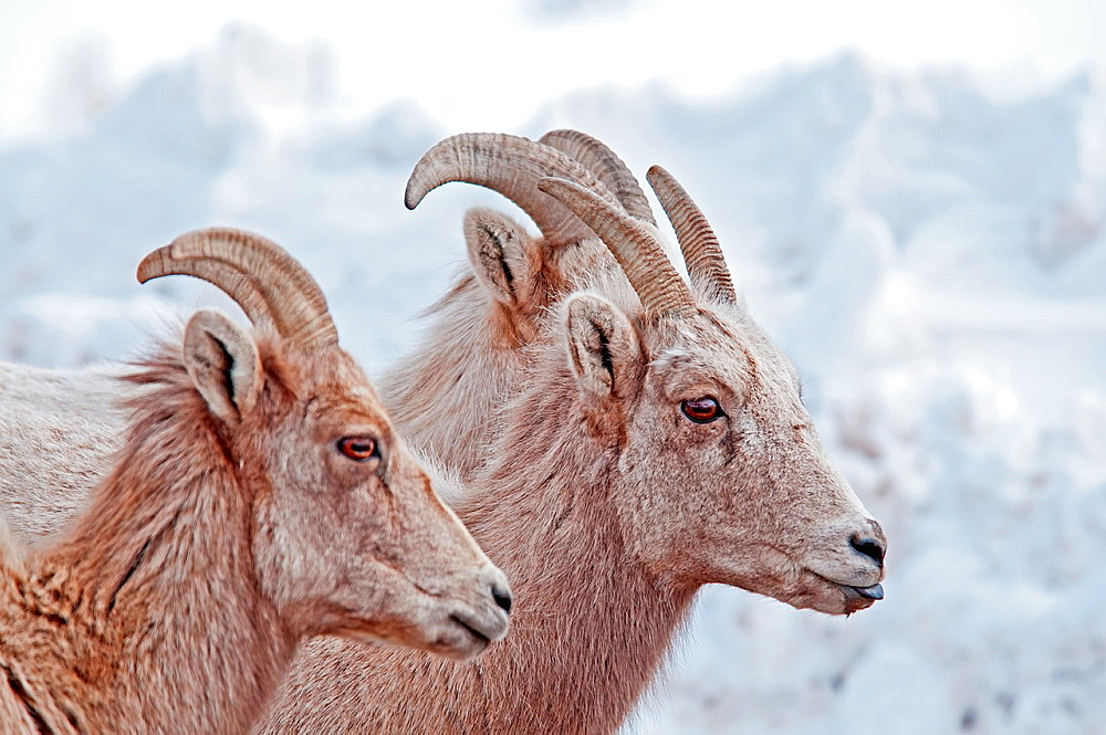 Bighorn Sheep in snow on Miller Butte during winter at The National Elk Refuge near the city of Jackson in northern Wyoming