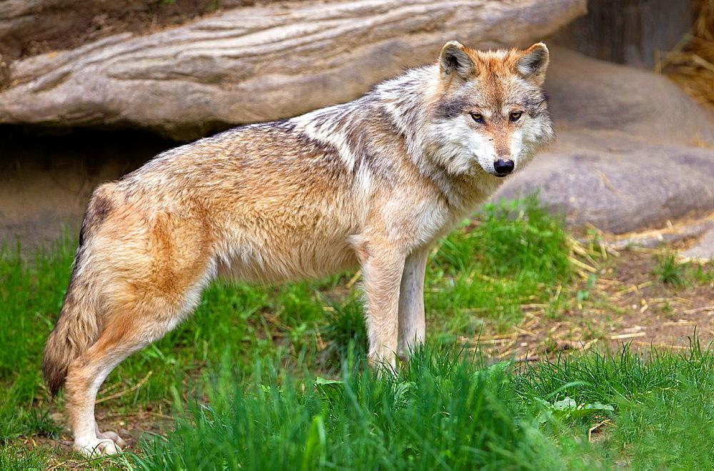 Mexican Wolf (Canis lupus baileyi), Cincinnati Zoo, Ohio, USA.