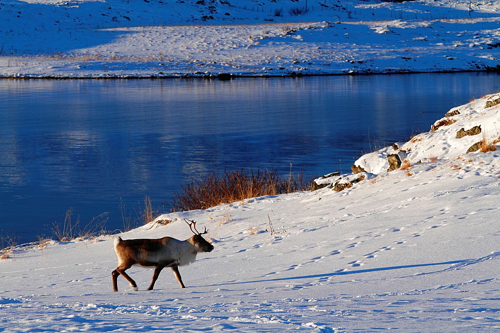 A reindeer in norwegian fjords, near Tromso.
