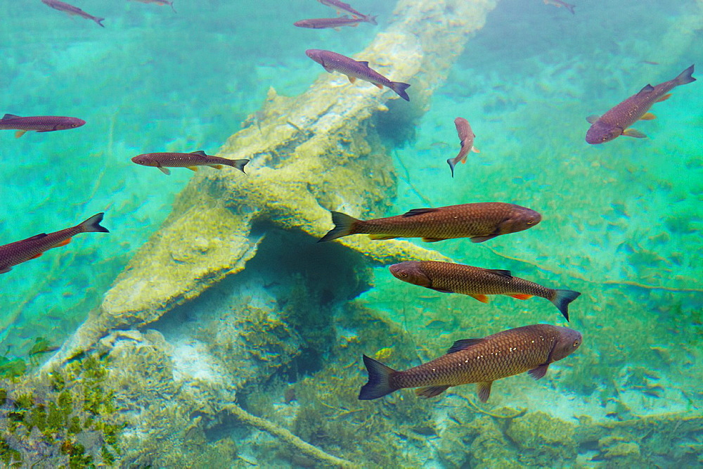 Croatia, Plitvice Lakes National Park, fishes in the crystal-clear water of lake, Plitvice, central Croatia.