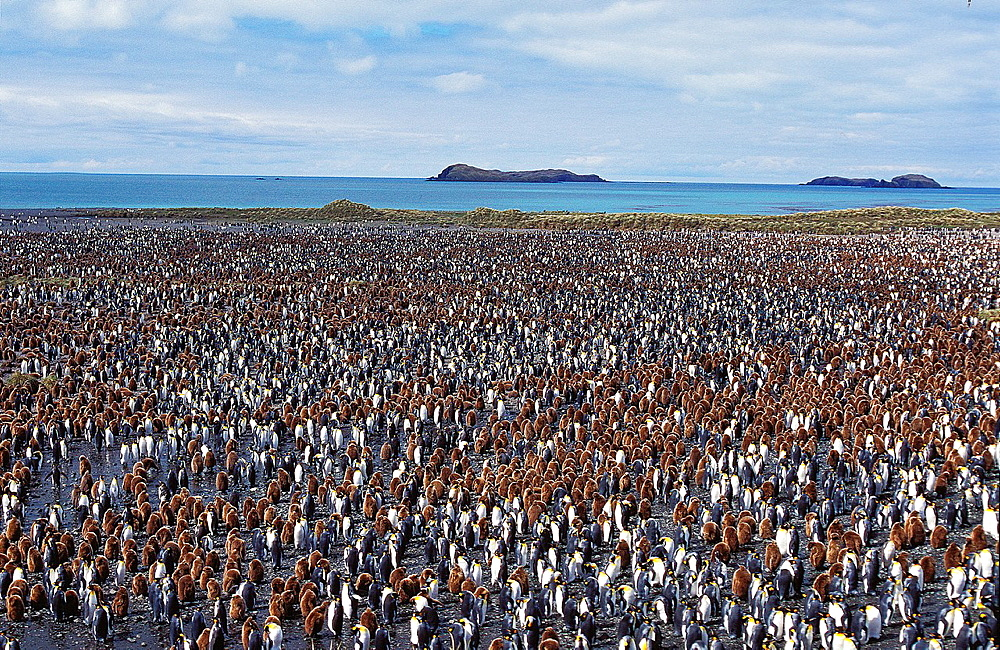 King Penguin, aptenodytes patagonica, Colony in Salisbury Plain, South Georgia.