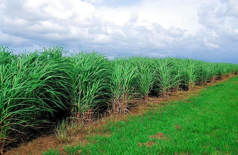 Sugar Cane Field, Australia.