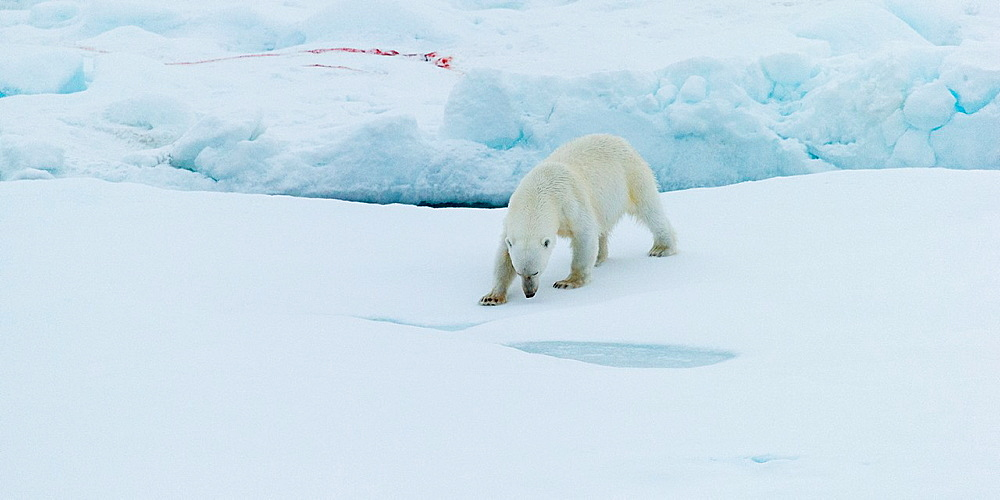 Polar Bear Portrait, Greenland.